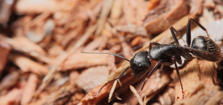 Comment faire la différence entre les fourmis charpentières et les termites