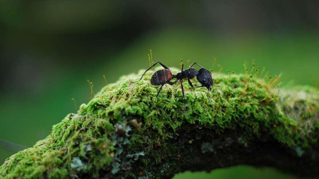 Top 4 des fourmis que vous pourriez rencontrer cet été